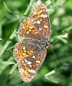 Field Crescent - Phyciodes pulchella - female