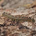 Caterpillar - Malacosoma disstria