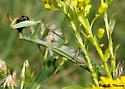 Mantis 2 - Chinese? - Mantis religiosa - female