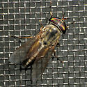 Florida Horse Fly - Tabanus - female