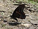 Spicebush - Papilio troilus - male