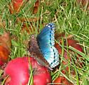 smashed apple each day, makes the butterflies stay. - Limenitis arthemis