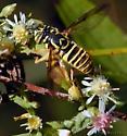 Syrphid Fly (Yellow Jacket Mimic) - Spilomyia longicornis