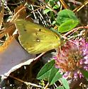 Orange Sulpher - Colias eurytheme - male
