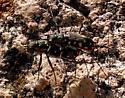 Cicindela sedecimpunctata - Cicindelidia sedecimpunctata - male - female