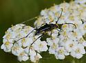 Beetle - Anastrangalia laetifica