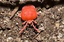Plushy red mite - Trombidium