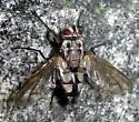 Tachinid Fly - Zelia