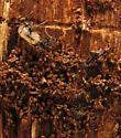 Little ants under bark of dead tree - Tapinoma sessile
