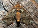 4/11/19 Paectes moth - Paectes