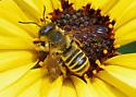 Is this Megachile fidelis? - Megachile fidelis