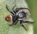 Jumping Spider - Phidippus insignarius - male