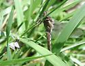 Common Whitetail with exuvia - Plathemis lydia