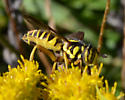 Spilomyia longicornis? - Spilomyia longicornis