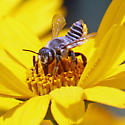 Leafcutter Bee, Emerson - Megachile parallela - female