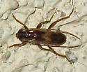 Long-horned Beetle - Megobrium edwardsi