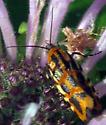 Common Spragueia - Spragueia leo