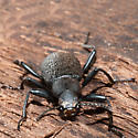 Beetle Under Bark - Upis ceramboides