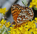 Gabb's Checkerspot - Chlosyne gabbii - male