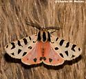 Tiger Moth - Apantesis incorrupta