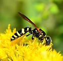 solitary wasp - Philanthus lepidus