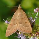 Diurnal moth - Garden Webworm Moth - Achyra rantalis