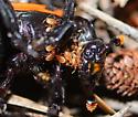 unknown beetle - Poecilochirus