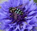 Blue stripe Hoverfly  - Megasyrphus laxus