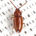 Silken Fungus Beetle - Caenoscelis basalis