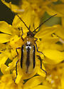 beetle on Solidago rigida - Diabrotica virgifera - female