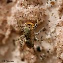 Jumper - Maevia inclemens - male