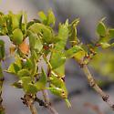 Creosote Bush Grasshopper - nymph - Bootettix argentatus - female