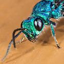 Metallic Blue & Green Fly - Chrysis