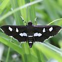Grape Leaffolder Moth - 5159 - Dorsal - Desmia