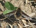 Bombylidae sp ? - Bombylius major
