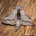 Moth - Tolype nigricaria