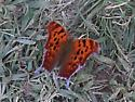 Butterfly with Purple Outline - Polygonia interrogationis