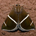 Short-lined Chocolate - Hodges#8764 - Argyrostrotis anilis