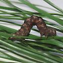 Geometrid caterpillar - Iridopsis vellivolata