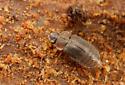 Coleoptera - Megarthrus