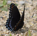 Black Butterfly With Blue Spots - Limenitis arthemis