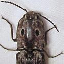Blind Click Beetle - Alaus myops