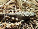 Melanoplus punctulatus? - Melanoplus punctulatus - female