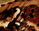 Forked Fungus Beetle larvae? - Bolitotherus cornutus