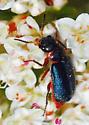 Beetle on buckwheat - Collops marginicollis - female
