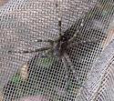Fishing Spider sp? - Dolomedes scriptus