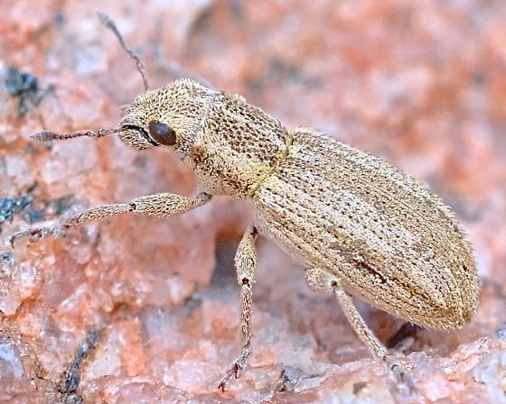 Beetle 4-5mm - Sitona