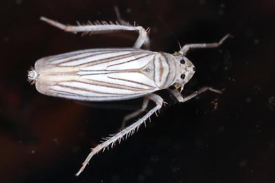 leafhopper - Plesiommata tripunctata