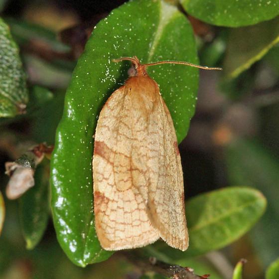 Wide-striped Leafroller - Aphelia alleniana