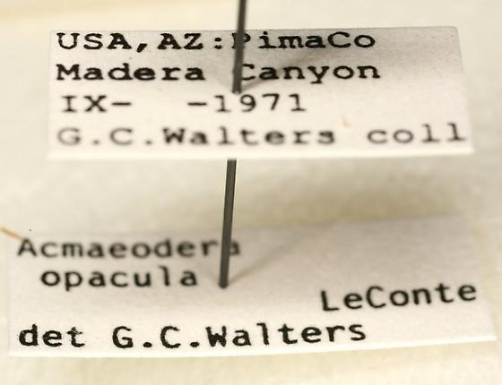 Acmaeodera opacula LeConte - Acmaeodera amabilis